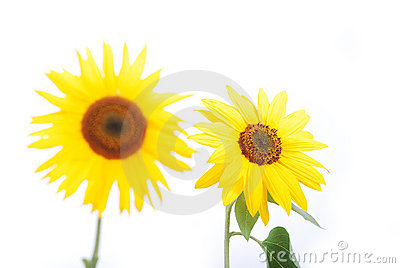 Beautiful yellow flower, colorful sunflower isolat