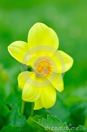 Beautiful yellow flower on green background