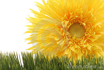 Beautiful yellow gerbera daisy flower on green grass isolated on white background