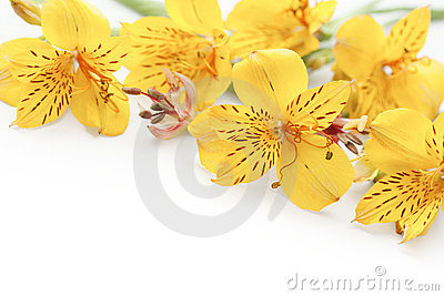 Beautiful yellow gladiolus on white background