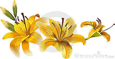 Beautiful yellow lilies