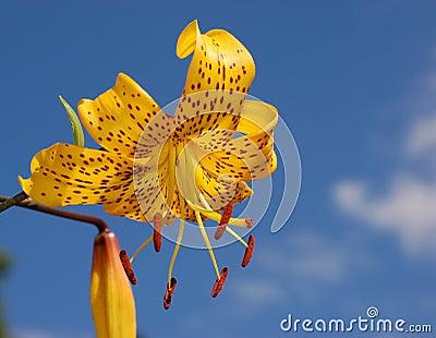 Beautiful yellow lilium.