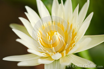 Beautiful yellow lotus blossom