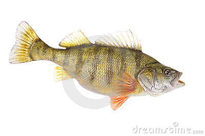 Beautiful yellow perch isolated on white