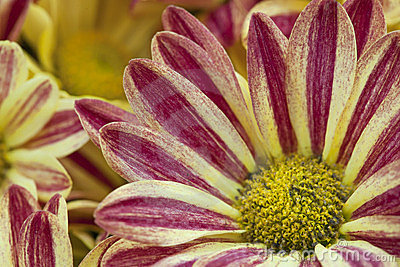 Beautiful yellow and red color flower