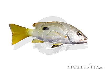 Beautiful yellow sea perch isolate