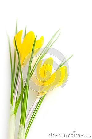 Free Beautiful Yellow Spring Flowers Isolated  / Crocus Stock Photos - 37088003