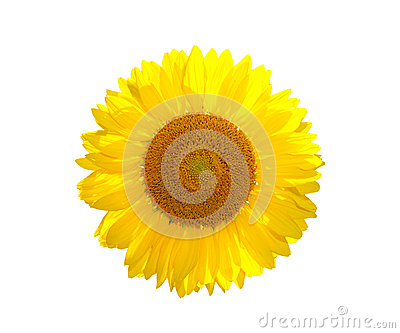 The beautiful yellow Sunflower