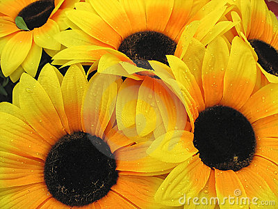 Beautiful yellow Sunflower petals with dew closeup