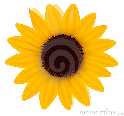 Beautiful yellow Sunflower. Vector