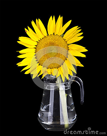 Beautiful yellow sunflowers in glass vase