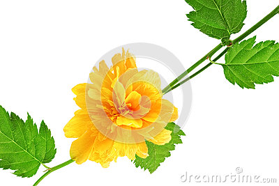 Beautiful yellow wild  rose .Closeup.Isolated.