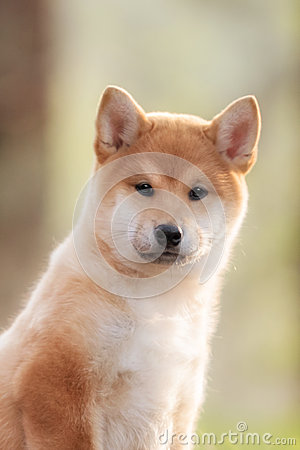 Free Beautiful Young Red Shiba Inu Puppy Dog On Car Royalty Free Stock Photography - 72859517