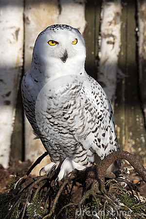 Free Beautifully Colored Male Snowy Owl, Nyctea Scandiaca Royalty Free Stock Images - 69509739