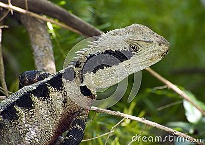Beauty as a lizard