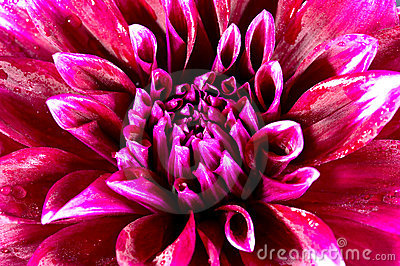 Beauty exotic flowers of dahlia