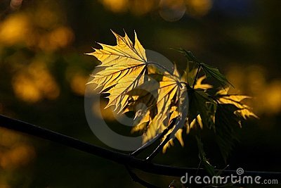 beauty golden maple leaf at sunset