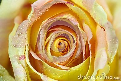 Beauty Rosaceae.