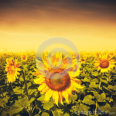 Free Beauty Sunset Over Sunflowers Field Royalty Free Stock Photos - 44345488