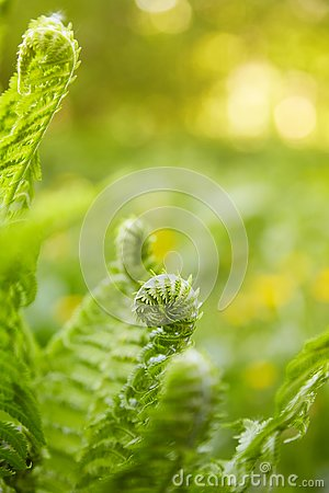 Free Beautyful Ferns Leaves Green Foliage Natural Floral Fern Background In Sunlight. Royalty Free Stock Photography - 138626277