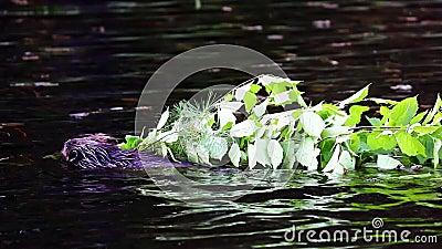 Beaver лимбы нося назад к дому 2 бобра сток-видео