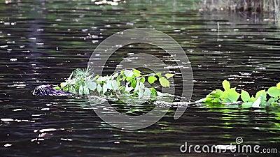 Beaver лимбы нося назад к дому бобра сток-видео