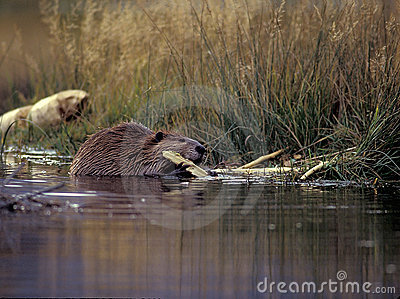 Beaver gnawing on wood