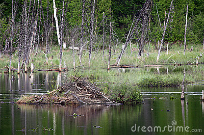 Beaver Hut on a pond in Alaska