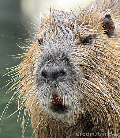 beaver rat or coypu