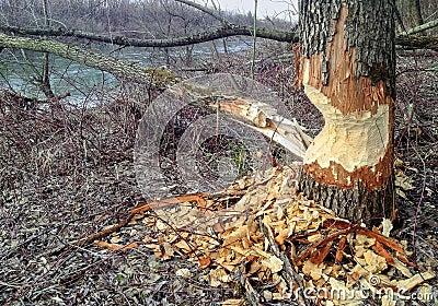 Beaver Tree Damage
