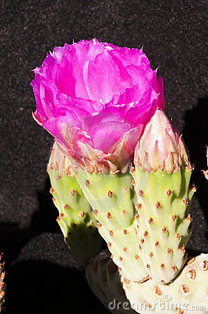 Beavertail cactus blossoms