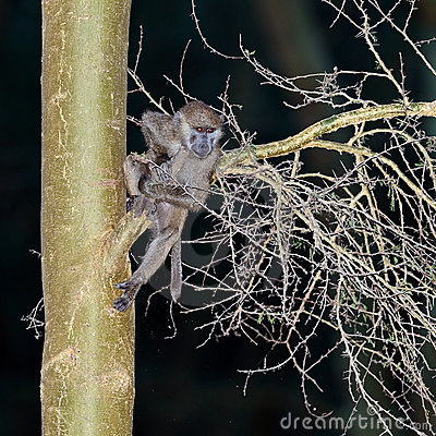 Bebé del babuino que cuelga en un árbol