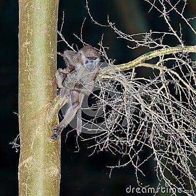 Bebê do babuíno que pendura em uma árvore