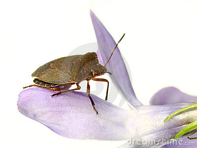 Bed-bug on flower
