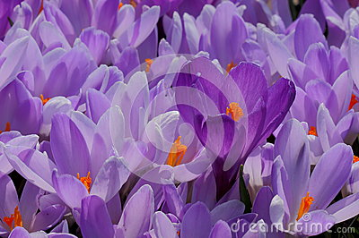 Bed of Crocus
