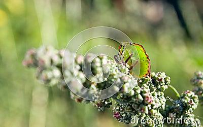 Bedbug on the vegetation