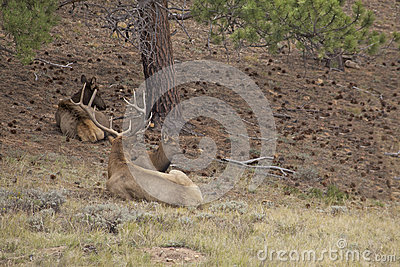 Bedded Bull and Cow Elk