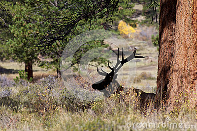 Bedded Bull Elk Silhouetted