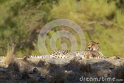 Bedded Cheetah