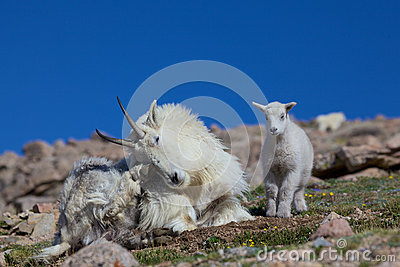 Bedded Mountain Goat Nanny and Baby