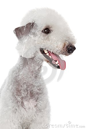 Bedlington terrier portrait