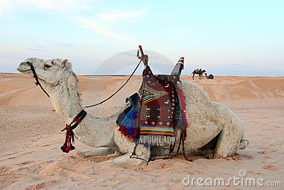 Bedouin Camel Royalty Free Stock Photos - Image: 13963598