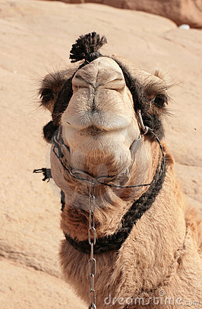 Bedouin camel in harness