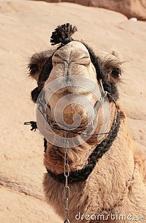 Bedouin camel in harness
