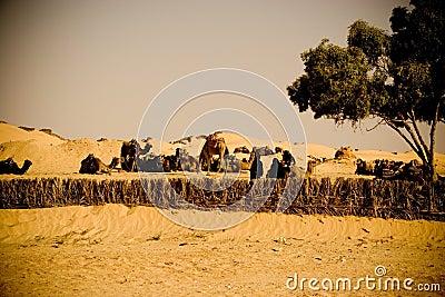 Bedouin camels caravan