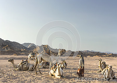 Bedouin girl with her camels