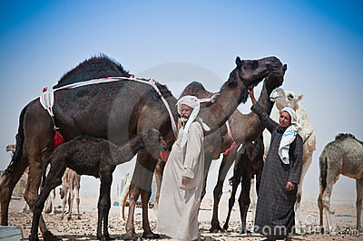 Beduoin Camel Traders Editorial Stock Image