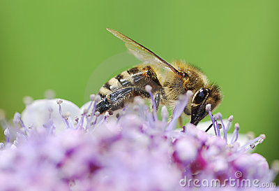 Bee Stock Photo - Image: 21840170