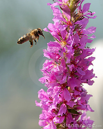 Free Bee Royalty Free Stock Image - 2510936