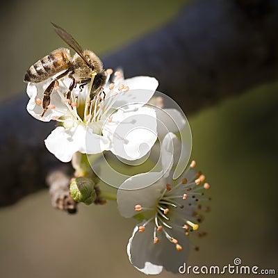 Free Bee Royalty Free Stock Photo - 8591485